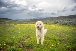 Trail dog in Meadow of Yellow.