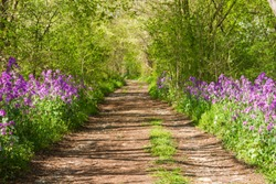 Trail in a forest with violets all around , relax in a natural park