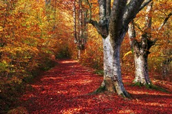 trail in autumn beech forest with vivid colors