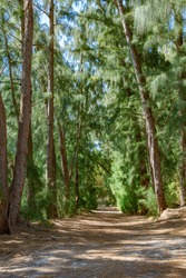 Trail through Australian pine trees (Casuarina equisetifolia) at Wolf Lake Park, vertical - Davie, Florida, USA