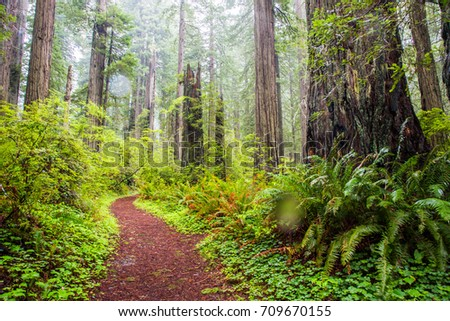 Trail through Giant redwood trees surrounded by green ferns in the Redwoods National and State Park located in northern California a few miles south of Crescent City.