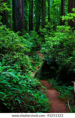 Trail through the Redwood Forest