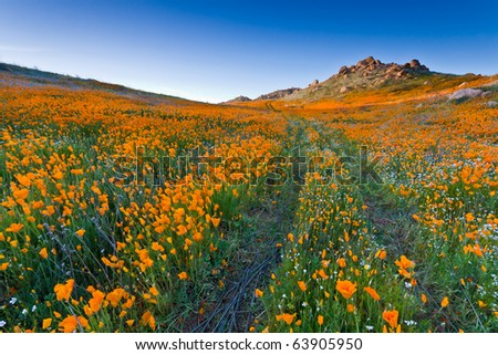 Trail with blazing poppies flowers field