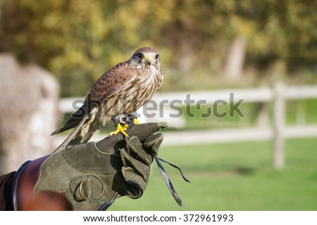 Shutterstock Trained hawk, used in the sport of falconry, stands perched on the trainer's gloved hand.