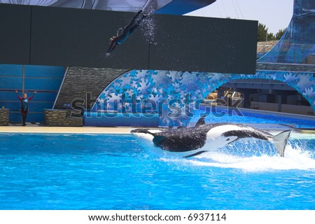 Trained orca, killer whale, entertains public during the show