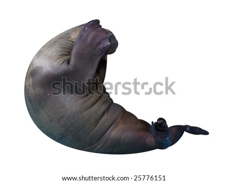 Trained walrus isolated on white.