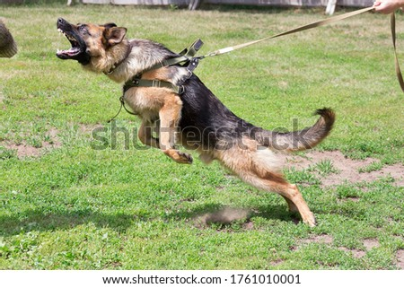 Training a police dog in cynological club. German shepherd dog in action. Stock photo ©