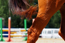 Training a red horse on the field for horse jumping. Hind legs and tail of a horse close-up