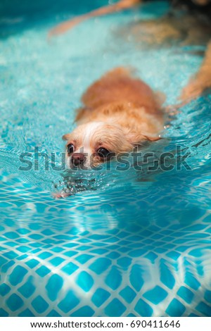 Training Chihuahua Dog to Swim in Outdoor Swimming Pool #690411646