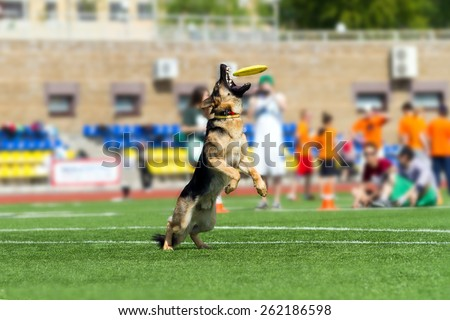 Training dogs. Agility. Dog-Frisbee. The dog holds Frisbee in his mouth. German shepherd dog.
