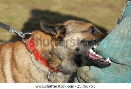 training of a police dog: belgian shepherd malinois