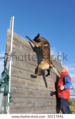 training of a police dog with a purebred belgian shepherd malinois