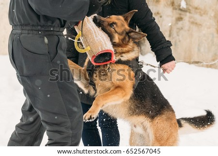 Training Of Purebred German Shepherd Young Dog Or Alsatian Wolf Dog. Attack And Defence. Winter Season #652567045
