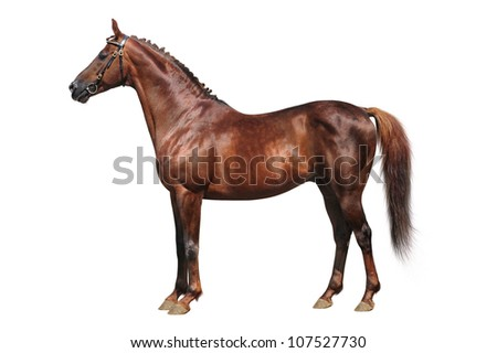 Trakehner chestnut stallion isolated on white