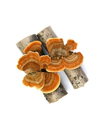 Trametes versicolor isolated on white. Trametes versicolor, also known as coriolus versicolor and polyporus versicolor mushroom, the best natural cure for cancer