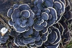 trametes versicolor mushroom on tree log. close up or macro.