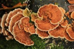 Trametes versicolor, the polypore mushroom