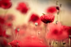 Tranquil And Beautiful Poppy Meadow In Summer
