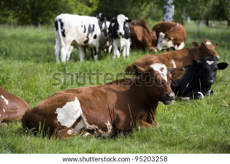 Tranquil Scene with Domestic cows