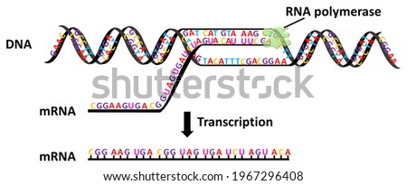 Transcription is the process of copying a segment of DNA into RNA