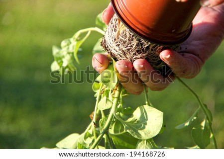 Transferring potted plants in the garden. The roots of the plant are visible as the gardener changes the pot.