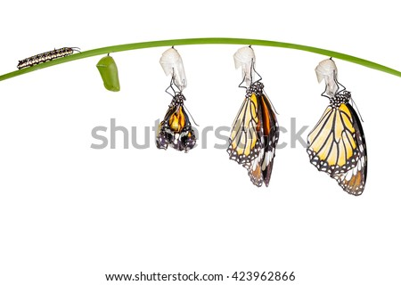 Transformation of common tiger butterfly emerging from cocoon isolated on white with clipping path #423962866