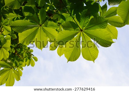 Translucent and green horse chestnut leaves in back lighting on blue sky background (different take)