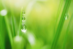 Transparent droplets of dew in grass on summer morning sparkle in sunlight in nature. Selective focus. Fresh grass with water drops.  Blurred background light green color, macro.