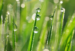 Transparent drops of water dew on fresh green grass close up.Natural background.