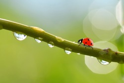 Transparent drops of water witch ladybug on branch of tree close up.Natural background.