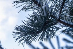 Transparent ice and snow glisten on the branches of a pine tree in winter in the bright sun. The dark silhouette of pine branches against the sky. Background. Copy space.