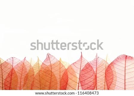 transparent  leaf.