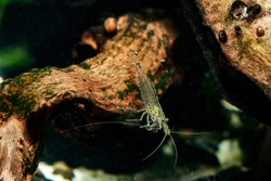 transparent shrimp in motion among snags to the bottom of the aquarium with green algae