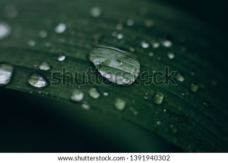 transparent water drops on a leaf of a tropical plant wetting fertilizer watering vegetation