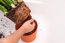 Transplanting home sansevieria plant from old small pot by male hands in the bath