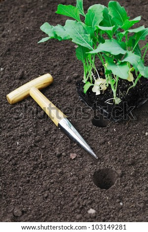 Transplanting seedlings into the garden with a smooth tapered auger for making neat holes in the soil