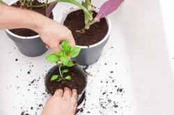 Transplanting small basil plant into new pot by male hands in the bath