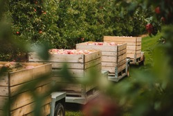 Transport of wooden crates full of apples. Harvest in apple orchard in autumn fall in poland. Green leafs, red apples. Field and apple trees.