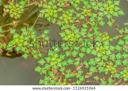 Trapa bicornis, Trapa natans (Horn nut, Water caltrops, buffalo nut) ; young water plants, full spread and floating on water surface. serrated leaf edge, rhombus shaped, green with reddish spread.  #1126921064