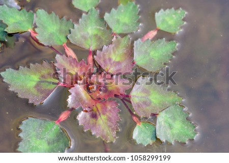 Trapa natans ; Floating plants have underwater leaves, like roots. The leaves on surface water is rhombus shaped, green-reddish. Leaf petioles, and also puffy part are light brown. #1058299199