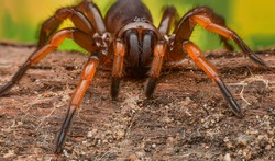 Trapdoor spiders on green background.