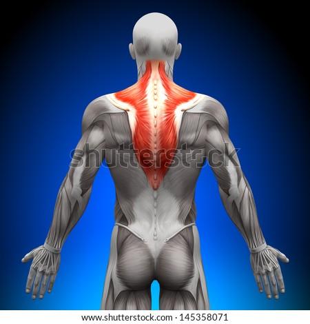 Trapezius Anatomy Muscles