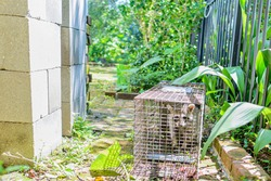 Trapped nuisance raccoon in uptown neighborhood of New Orleans, Louisiana, USA