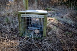 Traps set to capture predators like stoats and rats, are baited with chicken eggs and then the spring is set, Canterbury, New Zealand