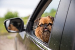 Travel pet. Traveling with a dog. Dog of the Griffon breed. Taking care of your pet. Psychology of dogs. Features of the Griffon dog breed.