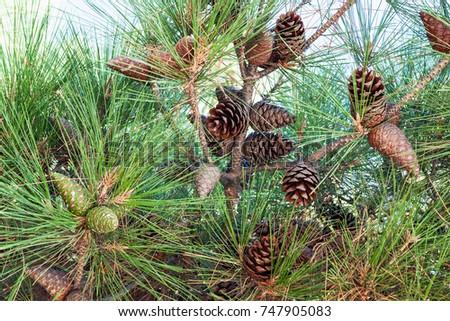travel to Crimea - foliage and cones close up of Crimean Pine on Lenin Street Embankment on coast of Black Sea in Alushta city #747905083