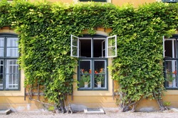 Travel to Vienna, Austria. The view on the windows of the building with green leaves of liana.
