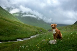 travel with a dog. Nova Scotia Duck Tolling Retriever in the mountains, in the valley . pet on a landscape. toller stands on a stone
