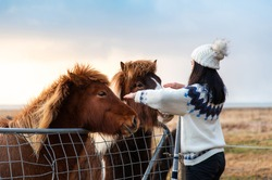 Traveler making friends with Icelandic horses on Iceland road trip