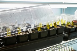 Tray of seed pots germinating under a humidity dome under LED grow lights indoors
